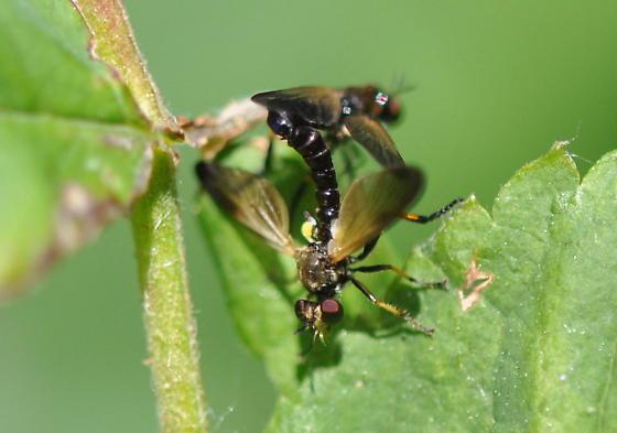 Flies? - Eudioctria sackeni - male - female