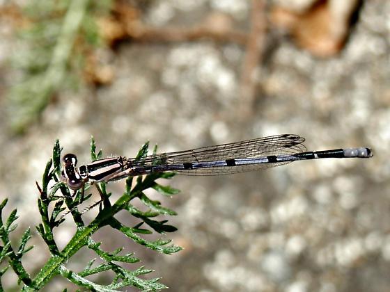 Damselfly in the yarrow - Enallagma doubledayi - male