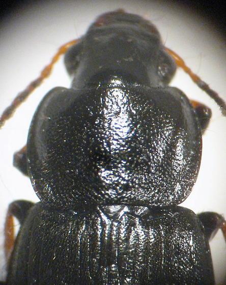glossy black carabid - Amphasia sericea