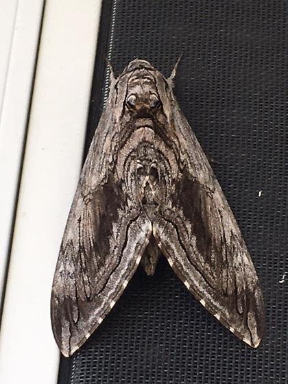 Large Wood-looking Moth - Classification?