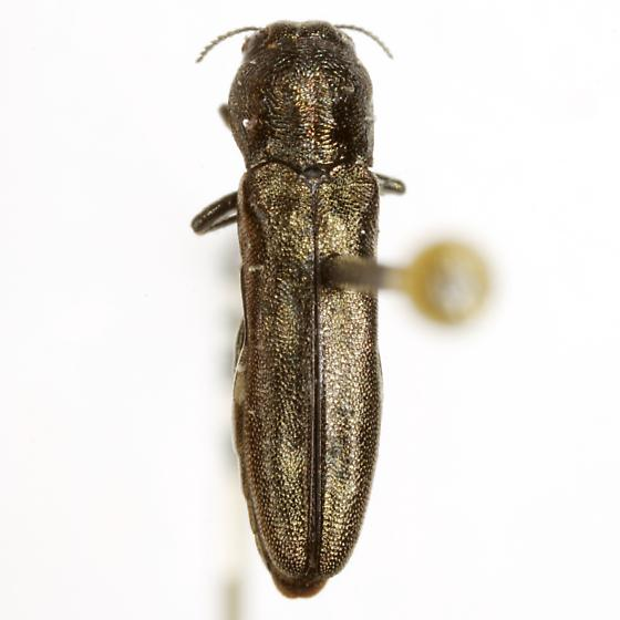 Agrilus abjectus Horn - Agrilus abjectus