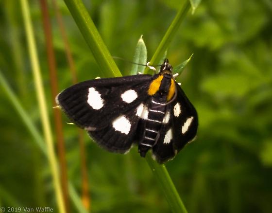 Alypia moth - Anania funebris