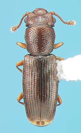 Monotomid - Hesperobaenus rufipes
