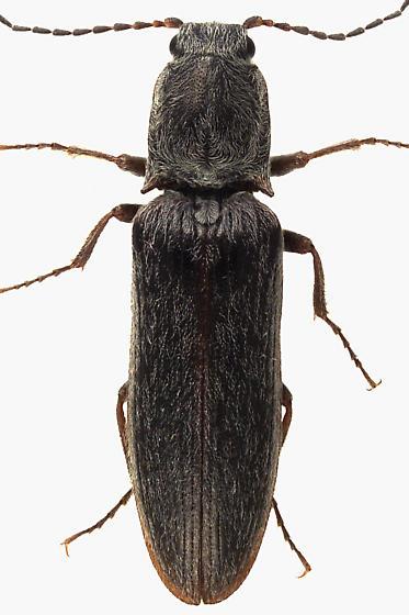 Click Beetle - Sylvanelater cylindriformis
