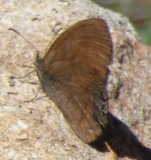B'fly Pine Lodge Road - Cyllopsis pertepida