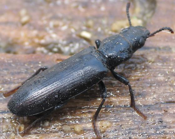 I think this is Lecontia discicollis but this is smaller than others I have seen. - Lecontia discicollis