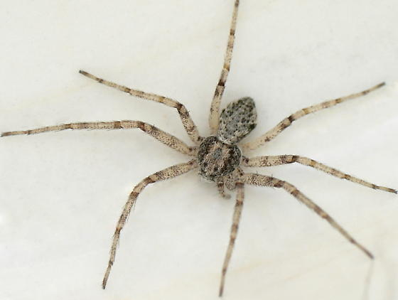 Dorsal view - Philodromus placidus - female