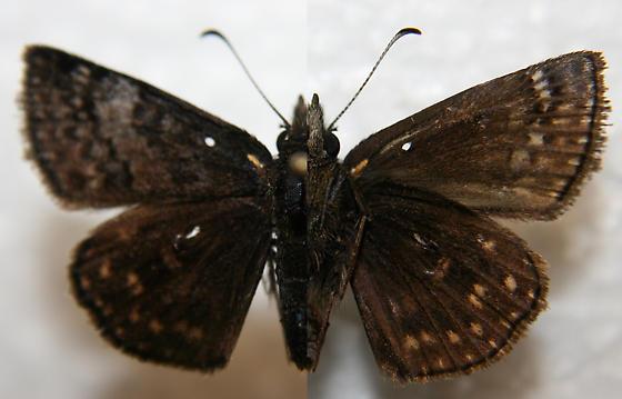 Sleepy Dusky Wing - Erynnis brizo - male