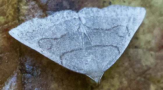 DSC05501 gray moth wet leaf - Zanclognatha pedipilalis
