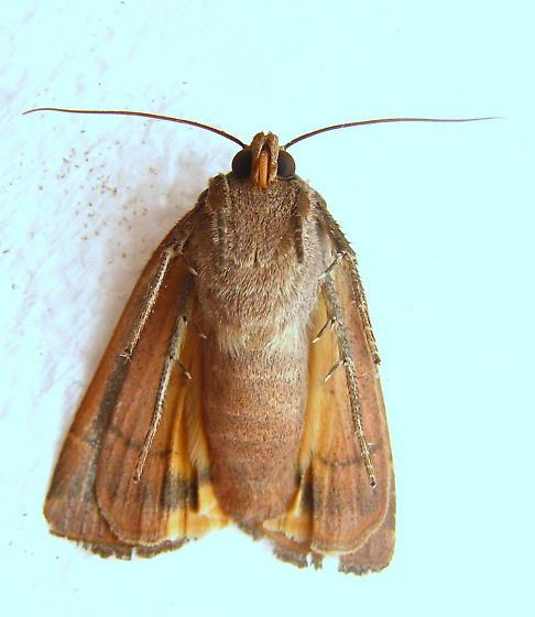 Lesser Yellow Underwing - Noctua comes