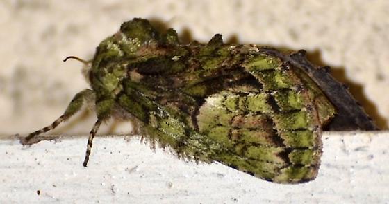 Green Pattern Moth - Heterocampa umbrata