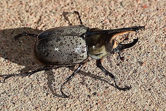 Western Hercules Beetle (?) - Dynastes grantii
