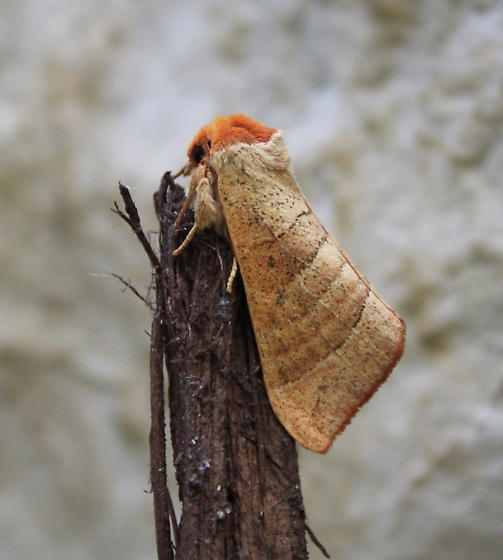 Unknown moth - Datana