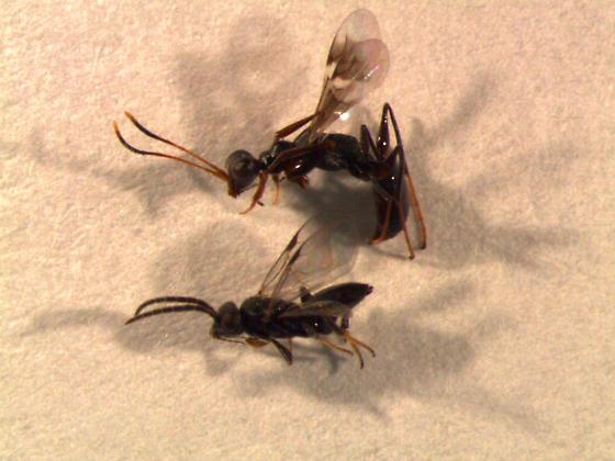 Dryinidae female - Dryinus crawfordi