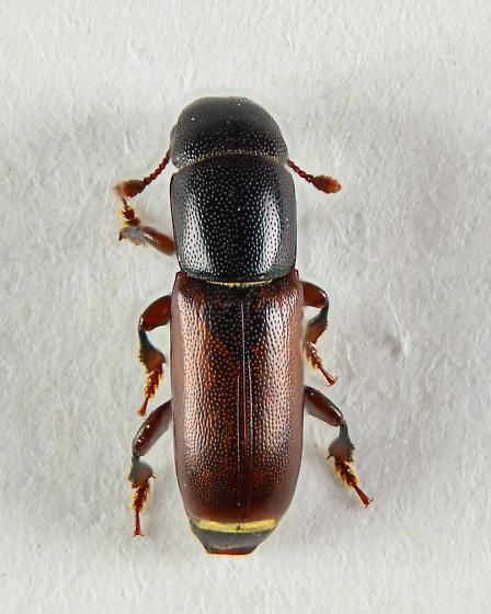 Pityophagus rufipennis.... - Pityophagus rufipennis