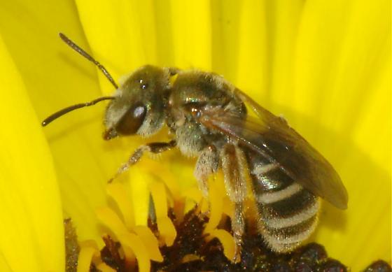 Small Bee #2 - Halictus tripartitus