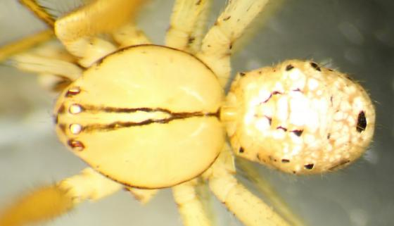 Arctachaea--voucher image - Arctachaea - male