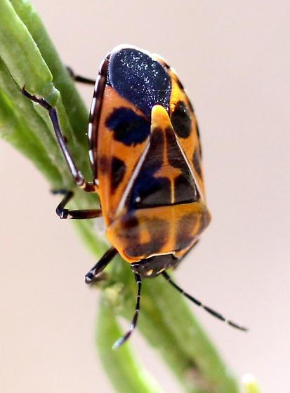 Stink Bug with Orange Cross Marking - Murgantia histrionica