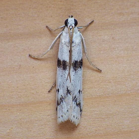 Pyralidae: Homoeosoma ardaloinphas - Homoeosoma ardaloniphas