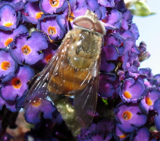 Bee or Fly? - Copestylum haagii - male