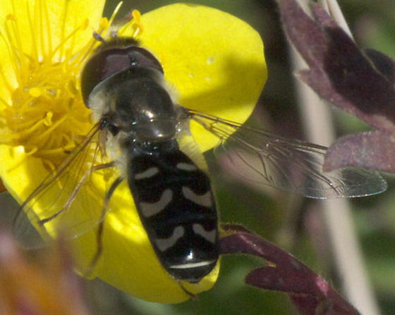 Syrphid fly with broken pale bands - Scaeva pyrastri