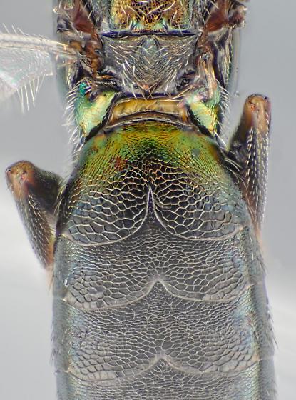 eupelmid - Brasema - female