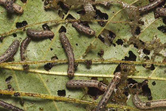 Noctuidae, Variegated Cutworm, larvae - Peridroma saucia