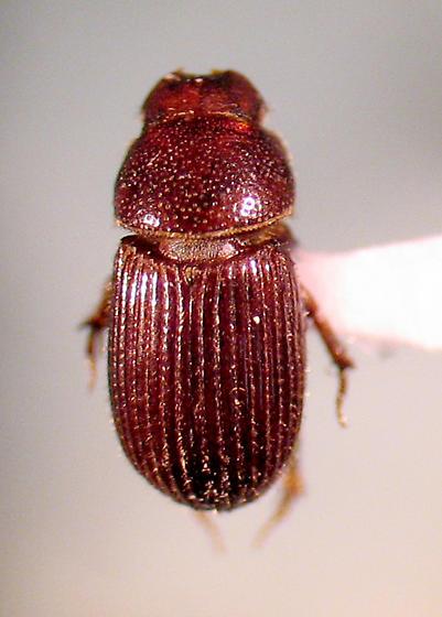 H. semipilosus - Haroldiataenius semipilosus