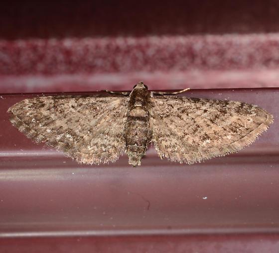 Eupithecia affinata - female