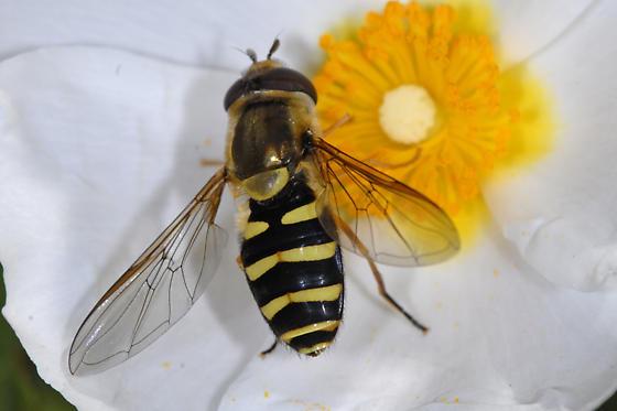 Eupeodes or Syrphus or ?? - Syrphus opinator