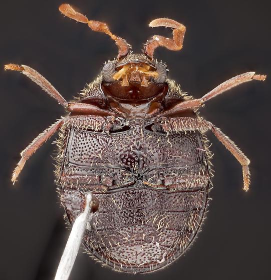 Beetle, ventral - Caenocara
