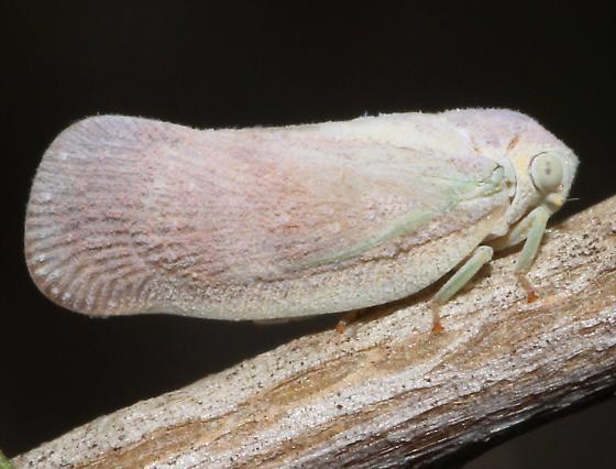 Flatid Planthopper - Flatormenis saucia