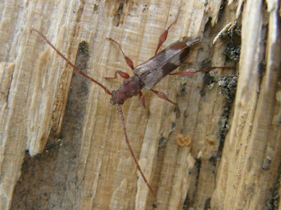 Beetle to ID if possible. - Hybodera tuberculata