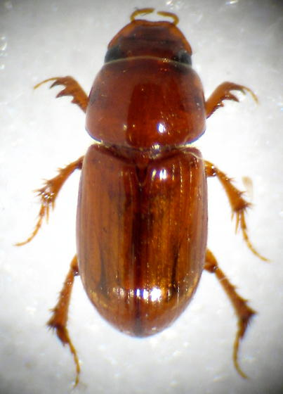 red-brown Aphodius? - Aphodius rubeolus