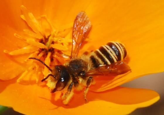 Bees' IDs Please - #1 Cutie - Megachile fidelis - male