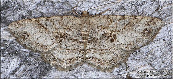 Melanolophia - Melanolophia canadaria - female