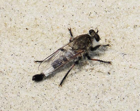 Robberfly Efferia species ( E. albibarbis ?) - Efferia albibarbis - male