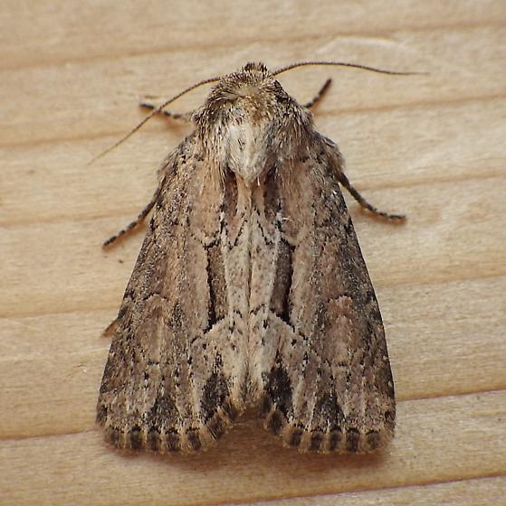 Noctuidae: Xylomoia chagnoni - Xylomoia chagnoni