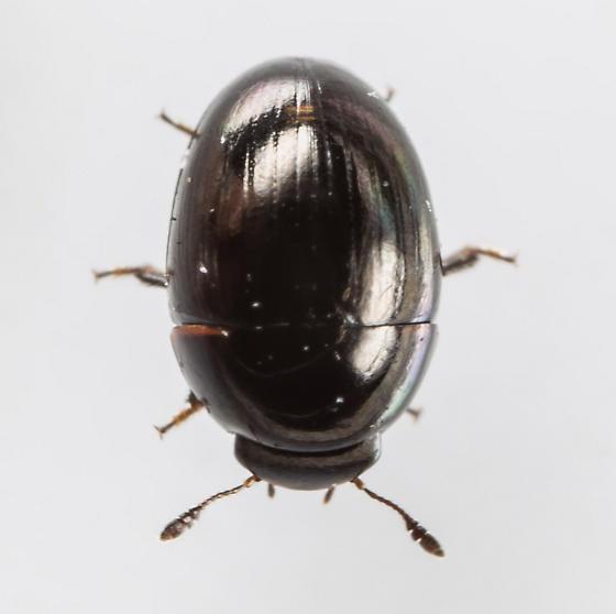 Shining Flower Beetles - Phalacrus