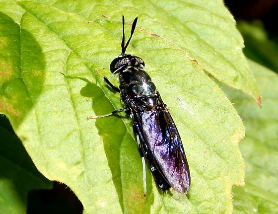 Wasp-like black fly - Hermetia illucens