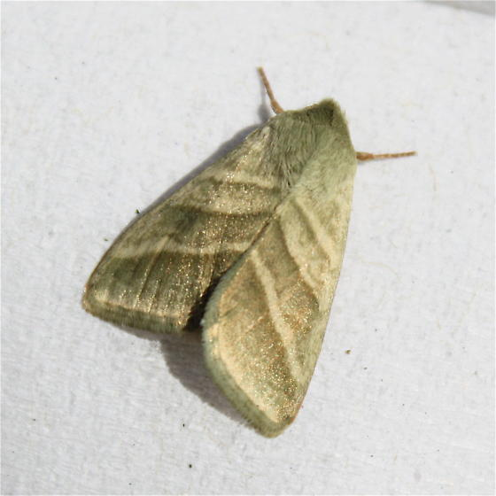 Caterpillar Life Cycle - Chloridea virescens