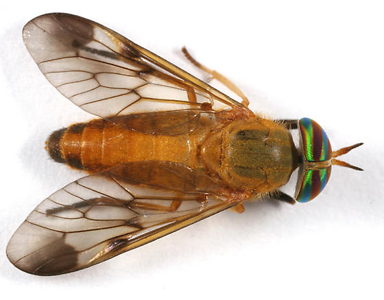 deer fly - Diachlorus ferrugatus