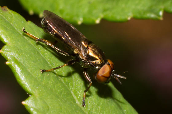 Soldier Fly - Orthonevra