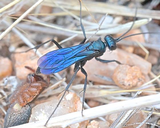 Wasp ~10mm - Ageniella