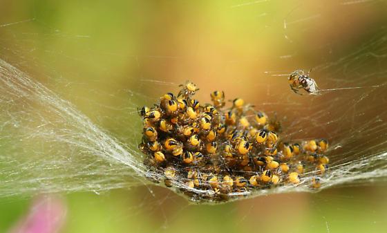Baby Orb Weavers - Araneus diadematus