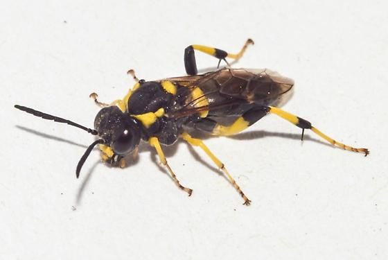 Sawfly - Macrophya bifasciata