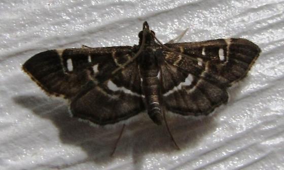 Moth - Ontario - Diathrausta harlequinalis