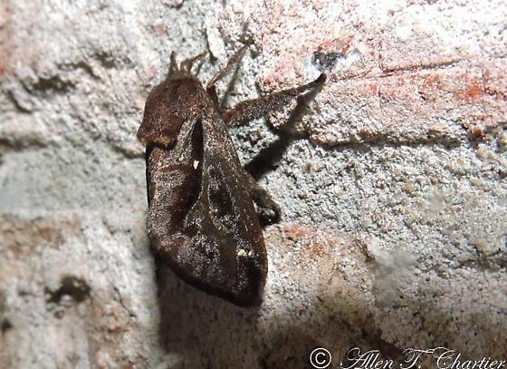 Is this Dasychira obliquata? - Acharia stimulea