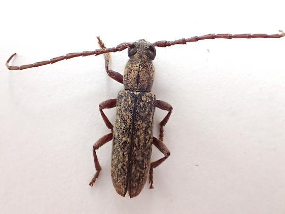 Smaller longhorn - Anelaphus brevidens