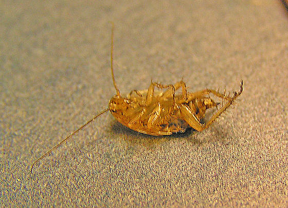 Unidentified bug that looks like an American/German cockroach hybrid. - Ectobius pallidus